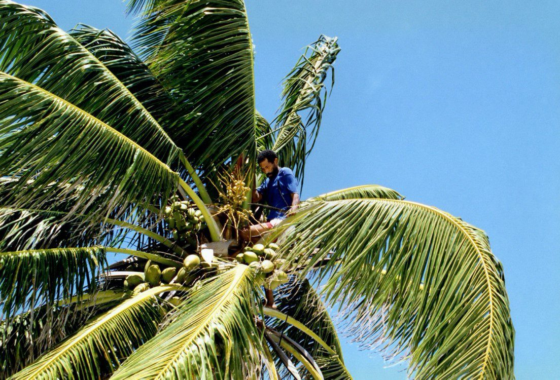 A man collecting coconuts