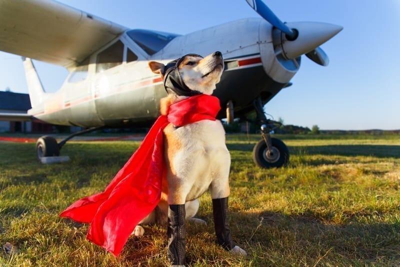 Shiba inu dog at the airport.