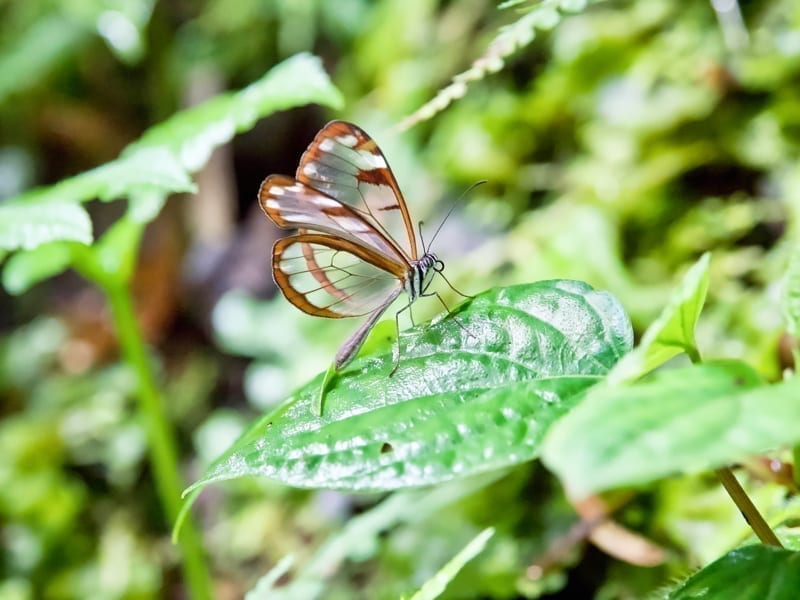 Butterfly in Boquete, Panama.