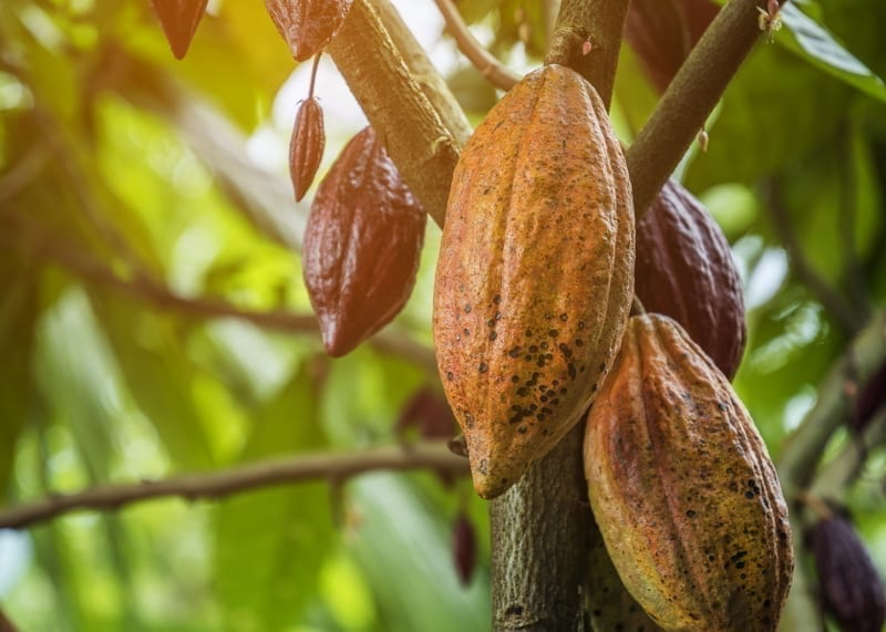 The cocoa tree with fruits.