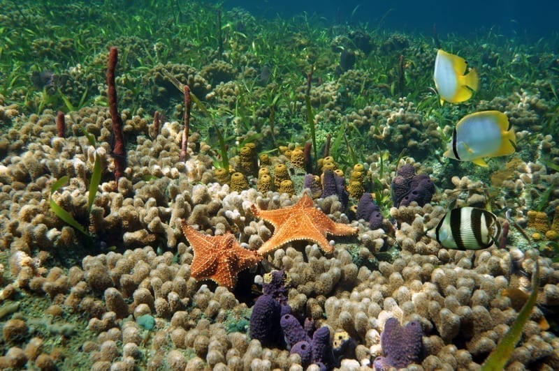 Underwater scenery in a colorful coral reef with starfish, tube sponges and butterfly fish, San Blas, Panama