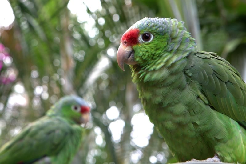 Red-lored Parrots.