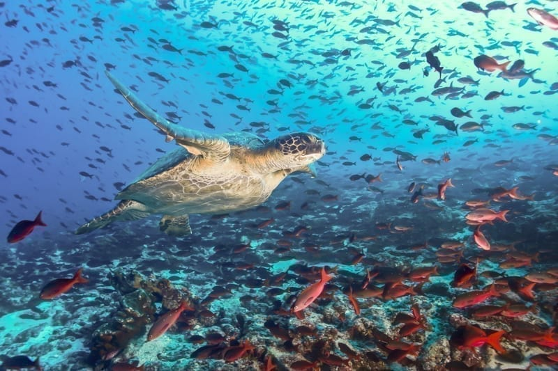 Turtle swimming across a school of fish