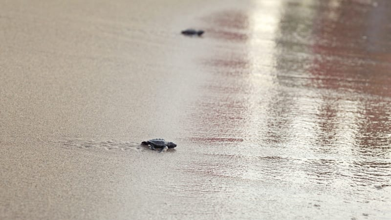Small baby turtle, hatched just after sunset, walking on sand, trying to get to sea