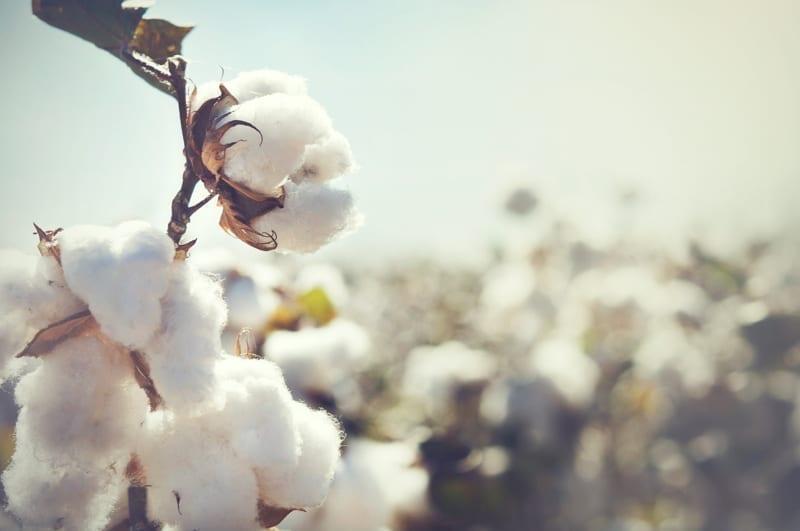 Cotton crop landscape.