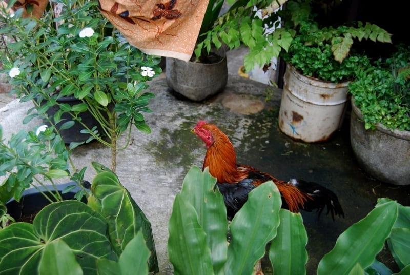 A chicken walking around the plants