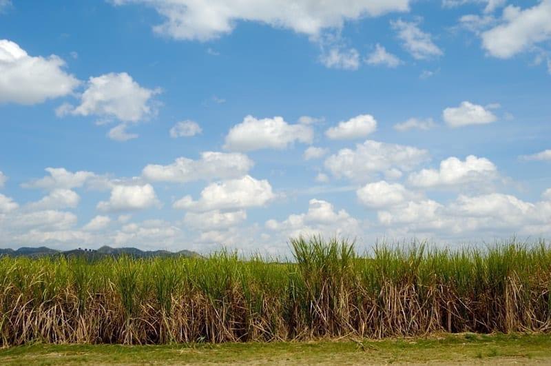 Sugar cane field from the Dominican Republic