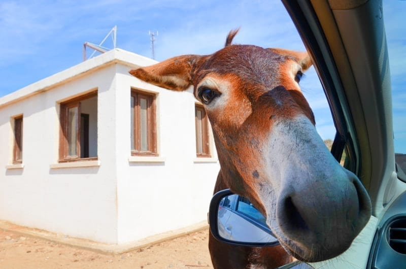 Wild brown donkey with his had in opened car window in Northern Cyprus.