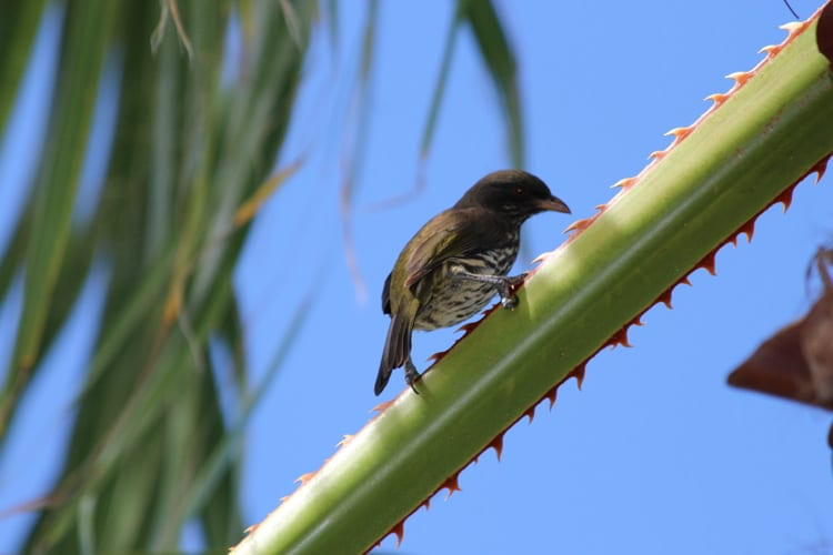 A palmchat bird sitting on a green branch in the Dominican Republic