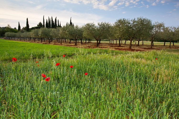 Springtime Poppies in the crops in Istria, Croatia