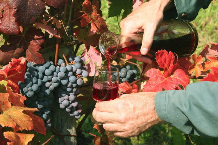 Pouring red wine in vineyard
