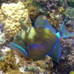 Fish of Belize | Queen Triggerfish